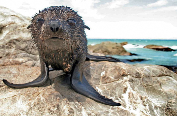 The huge eyes of a fur seal pup as it checks out the camera.