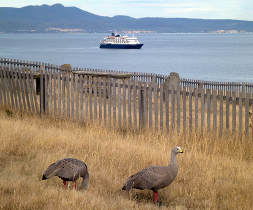 Cape Barren Geese on Flinders Island.  An endemic species found only on Tasmania -- the only species in its genus.