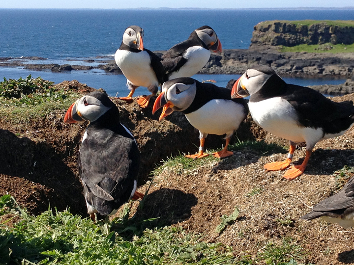 Watching the puffins nesting on Lunga while laying on my belly a few feet away.