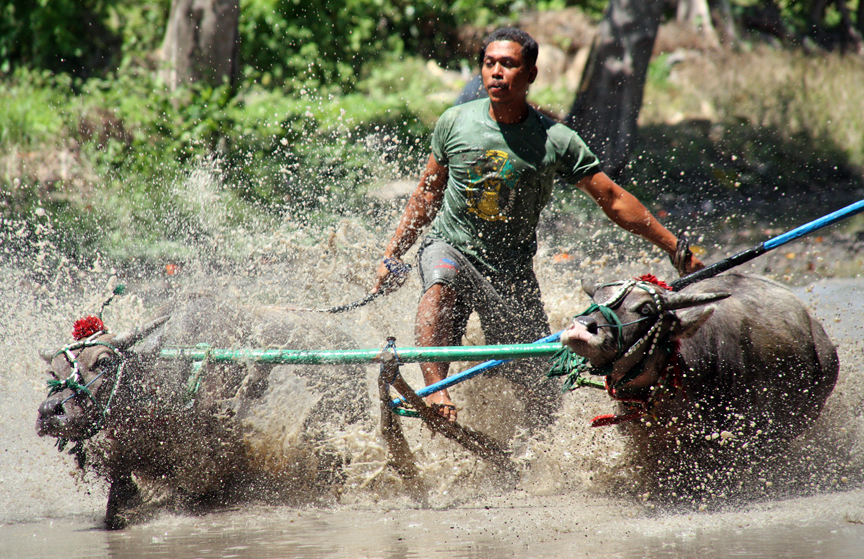 Buffalo racing in Sumbawa.