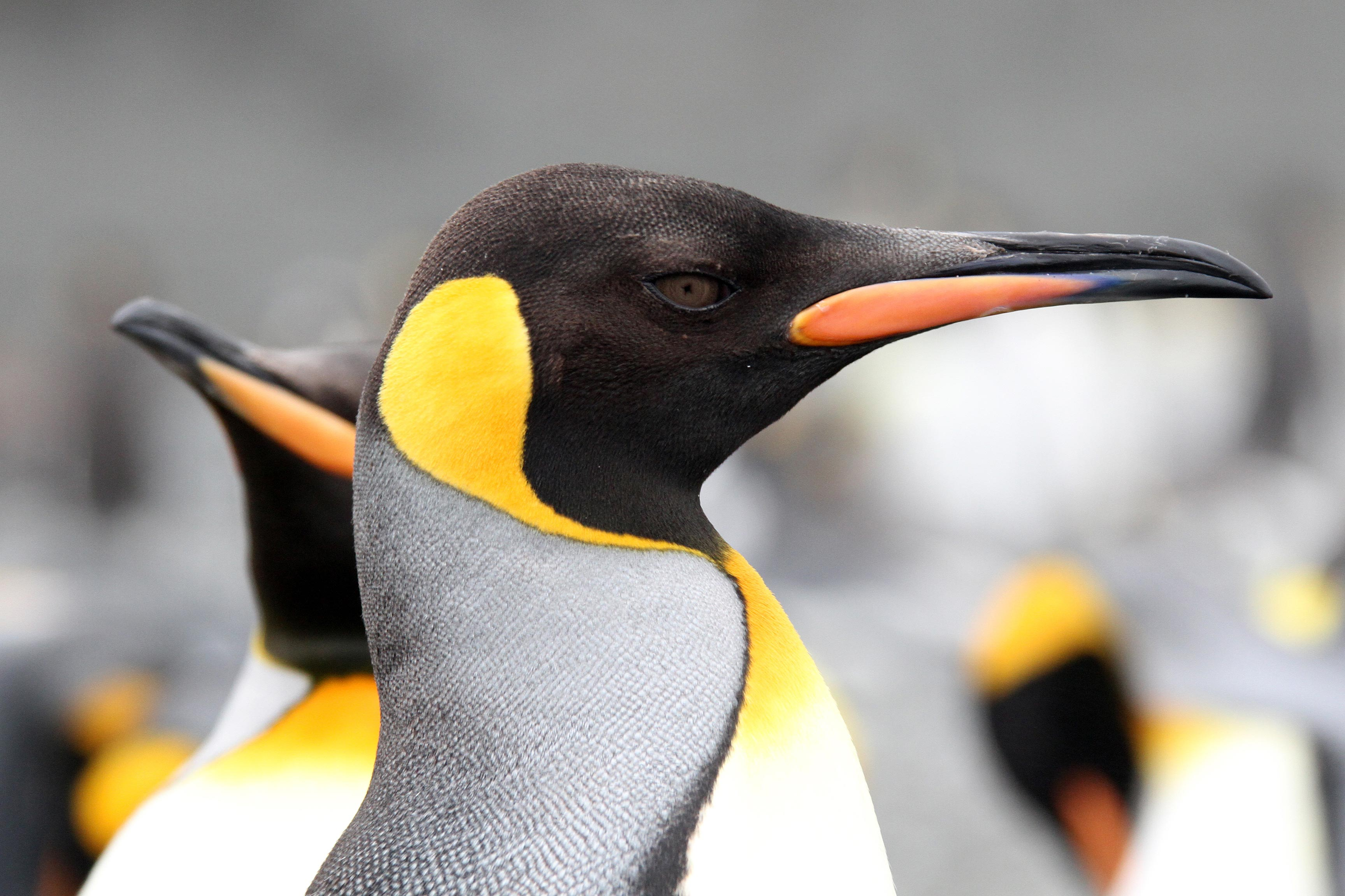 Regal king penguins are thick on the shores of Macquarie Island.