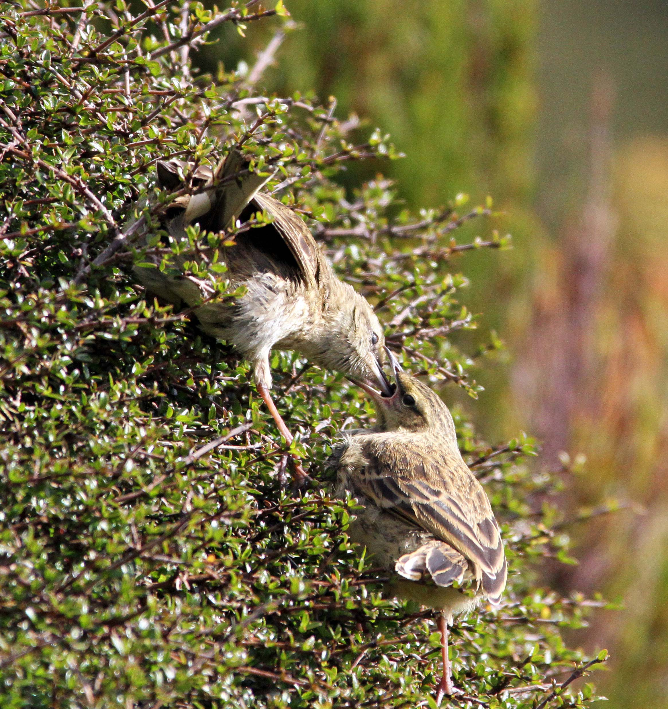 A pipit feeds its near-grown chick on Campbell Island.