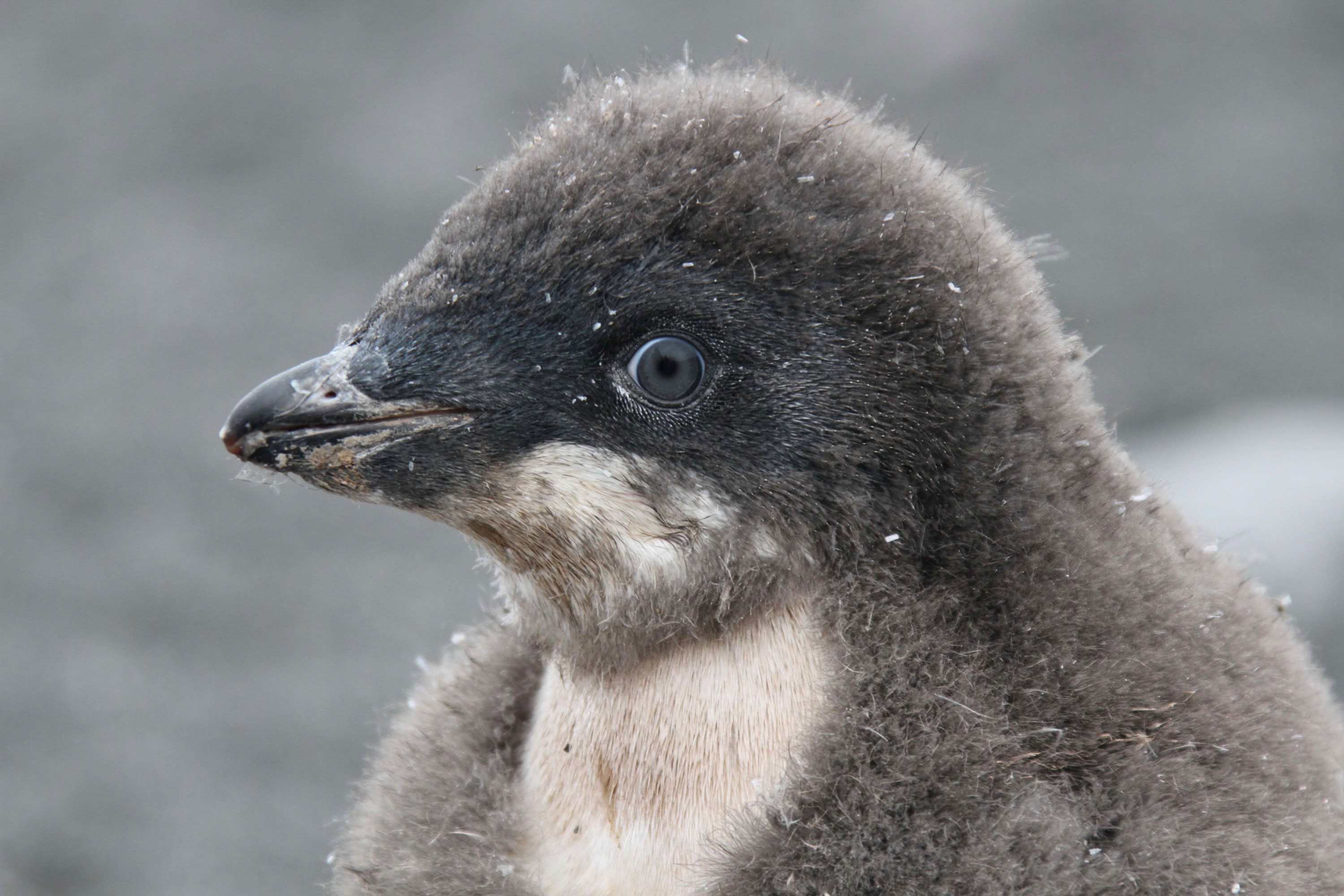 An Adelie penguin chick eyes me and my camera on Franklin Island.