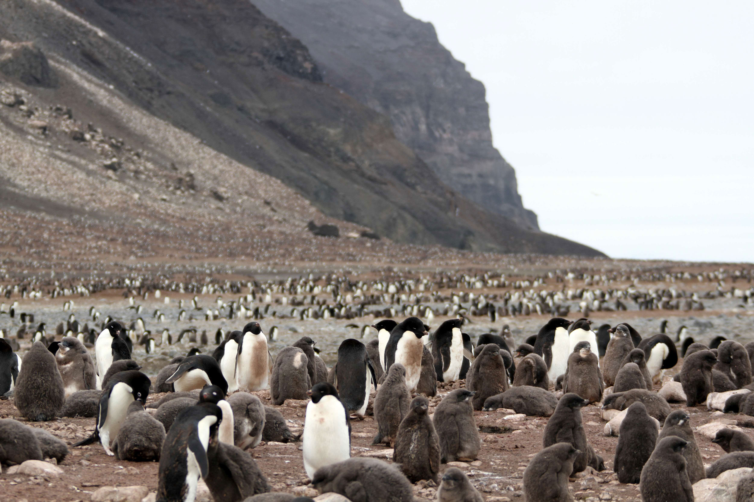 A massive colony of Adelie penguins with chicks on Franklin Island.
