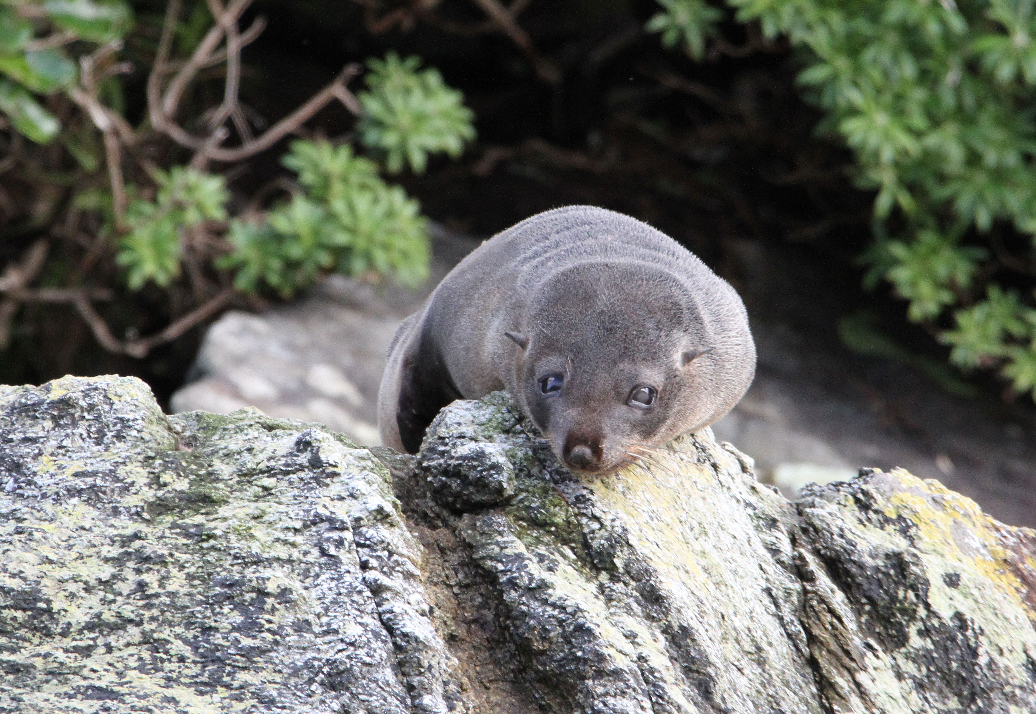 A young New Zealand Fur Seal checks us out.