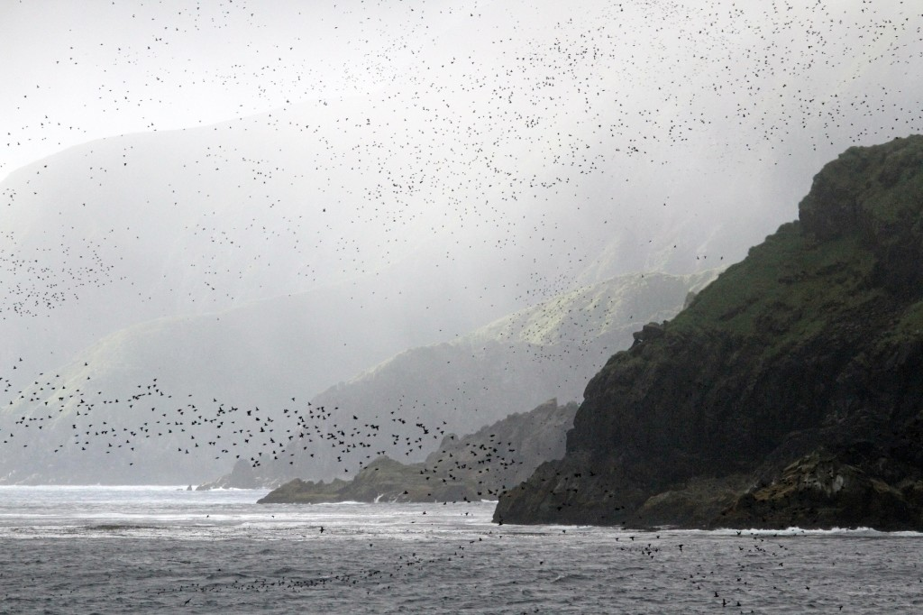 An Auklet haze fills the air with the ribbons of black seabirds and the smell of tangerines in the air.