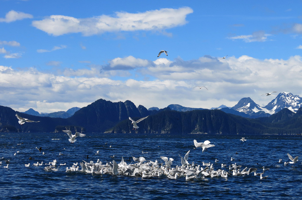 A feeding frenzy of seabirds over a bait ball.