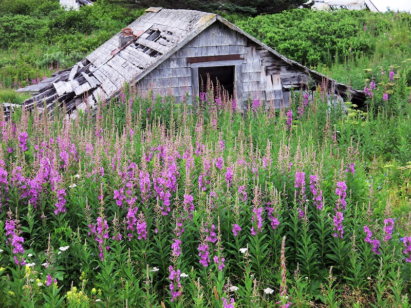 Unga Village in the Aleutians -- the remains of a gold mining community overgrown with fireweed.