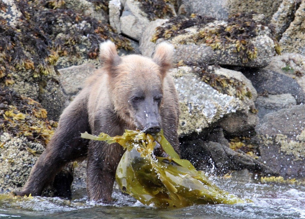 This young bear was showing ribs and tearing at kelp -- not much of a menu item...