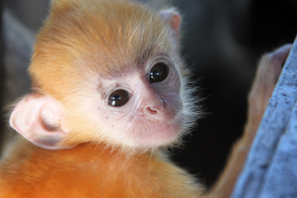 A juvenile silver leaf monkey in Borneo -- they go through a bright orange color faze when first born and then mature into a handsome silver coat.