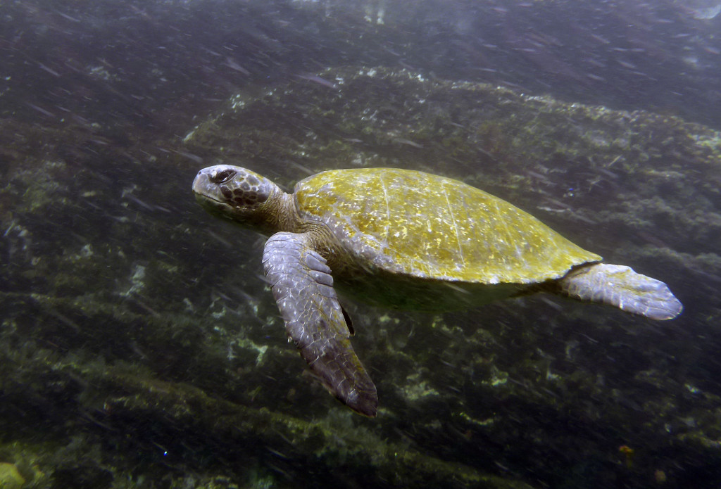 A large Pacific Green Turtle cuts through the cool coastal waters of the islands.