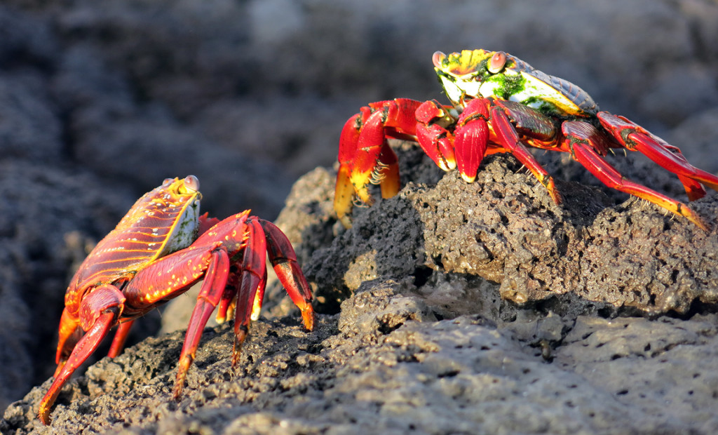 Sally Lightfoot Crabs size each other up on the shoreline.