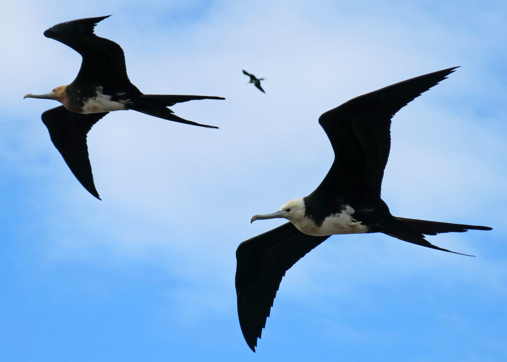 Juvenile frigate birds coast just over my head in the stiff wind.