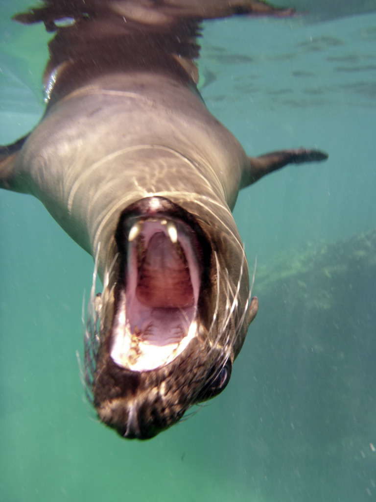 """The canine teeth on this animal lend themselves well to the literal translation of their Spanish name """"Sea Wolf"""""""