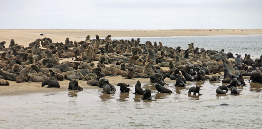 Cape Fur Seals on Pelican Point -- approximately 2 million of these fur seals live and feast on the Skeleton Coast.